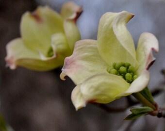 Soft and Pure Macro Print of a Dogwood Blossom...8x10 Fine Art Print