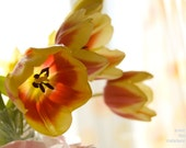 Tulips photograph, fine art, red and yellow, spring home decoration, delicate, nature, 10x8, Giclée - titled: Tulips
