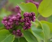 Purple lilacs print, Nature photography, Fresh green, Flower print, Spring Impressions, Purple flowers, Living room wall art