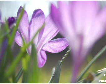 Purple crocus bulbs, Nature photography, Spring flowers, Flower print, Purple and green, Dreamy flowers, Spring Impressions,