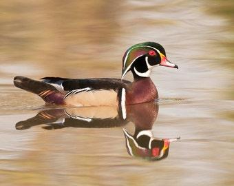 Wood Duck Borderless Fine Art Photograph, Duck Art, Wildlife Art, Bird Art
