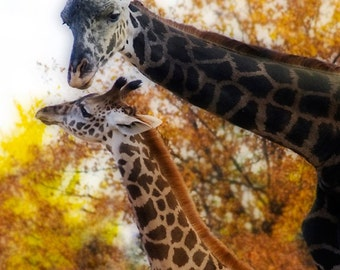 Two Baby Giraffe Photograph Foamboard Mounted Louisville Zoo Safari
