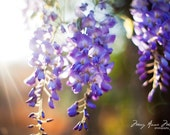 Wisteria in Sunlight 8x12 Fine Art Print