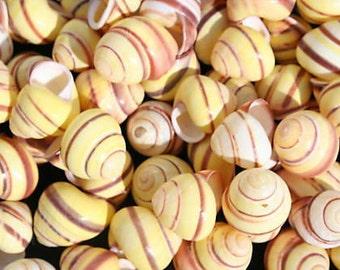 100 - YELLOW LANDSNAIL, Seashells, Saliors Valentine, Seashells, Craft