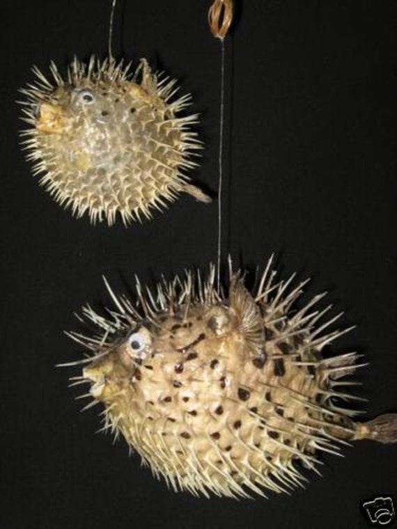 "10"" PORCUPINE FISH,Taxidermy,Sea life, Marine Life,preserved porcupine fish ,free shipping"