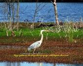 Blue Heron - Phinizy Swamp Nature Park - Augusta, Georgia