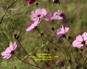 Cosmos Reaching for the Sun - Pink Flowers in Virginia