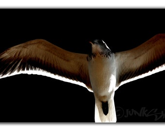 Seagull Bird Close up Illuminated Wing Bones View - Bird Art Photo Print 12x8
