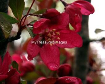 Red spring blossom 11X14 fine art photograph