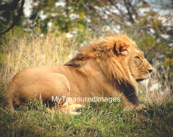 Lion resting in the grass, 11X14 fine art photograph