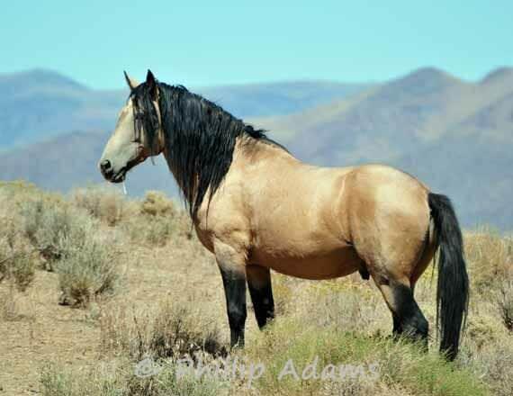 "Goliath 1 - Buckskin Mustang Stallion - 8.5"" x 11"""
