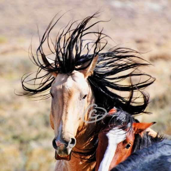 """Almost A Crown - Mustang Stallions - 8"""" x 8"""""""