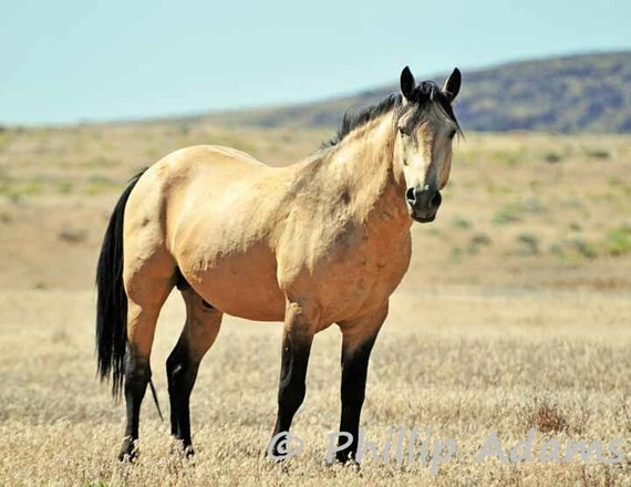 Riley 1 Buckskin Mustang Stallion