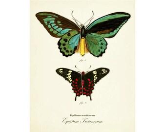 Vintage Butterfly Print Series 1 Plate 1 Digital Download: 8x10, specimens, vintage-look, illustration
