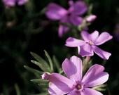 Fine Art Photograph Trail of Phlox Flowering 11x14