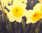 Fine Art Print Home Decor Photograph Vintage Daffodils 8x10 Flowering