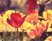 Photograph Vintage Style Spring Tulips Flowering Part 2 11x14