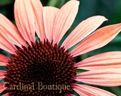 Photograph Flower Coral Summer Echinacea 11x14