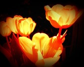 Bright Sunny Orange Tulips, 8x10 Fine Art Photograph, fire, flames, orange, warmth