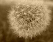 Dandy Dandelion in Bloom, 8x10 Fine Art Photograph