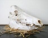 Vintage Boar Skull