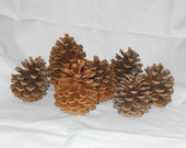 Large Pinecones (Ponderosa)