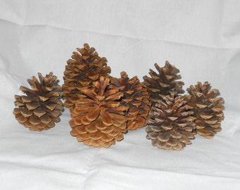 Large Pinecones (Ponderosa)