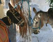 Santorini Donkeys - 8x10