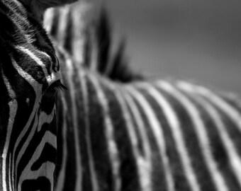 Zebra Close-up 8x10 fine art print