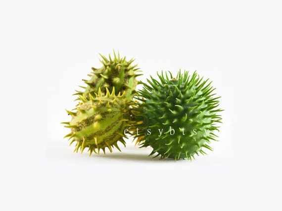 SEEDS - Ornamental Cucumber - Cucumis hirsutus Spiky Wild Cucumber Good for Arragements and Dried Arrangements