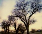 Winter Oaks Rising Photo, Fine Art Instant Film Photography, 5 x 5 Metallic Print