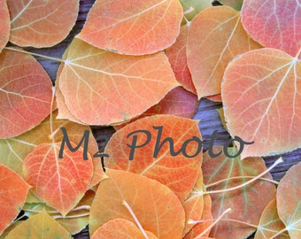 Aspen leaves  in fall color autumn scenery Sierra Nevada Mountains - Photo note card with envelope
