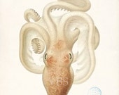 Vintage Octopus Illustration Natural History Sea Life Wall Decor Art Print  8x10 - vintagebytheshore
