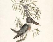 Coastal Decor Sea Bird Natural History Art Print - Kingfisher 8x10