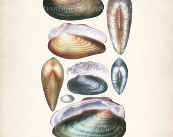 Coastal Decor Antique  Sea Shell Giclee Art Print - Plate XVII  8x10