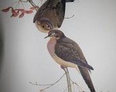 RESERVED FOR CINDA: Vintage Menaboni Eastern Mourning Dove Print
