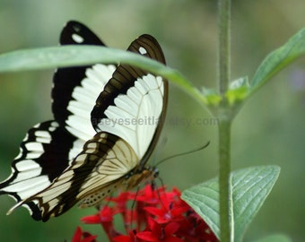 Brown and white swallowtail photo greeting card