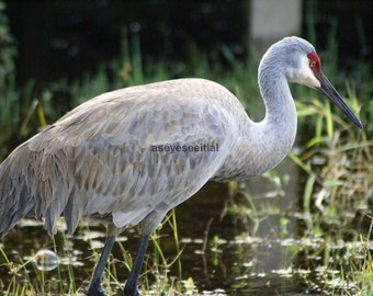 Sandhill Crane photo greeting card 5x7 blank inside