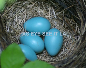 ROBIN EGGS In NEST 5x7 photo greeting card, blank inside. home decor, stationary, nature photography