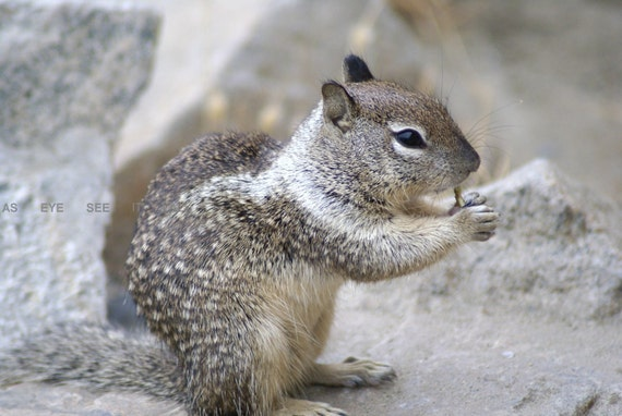 Hungry Squirrell in Oceanside  CA 5x7 photo greeting card