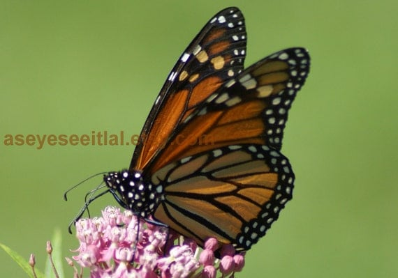 MONARCH BUTTERFLY  at the audubon 5x7 photo card