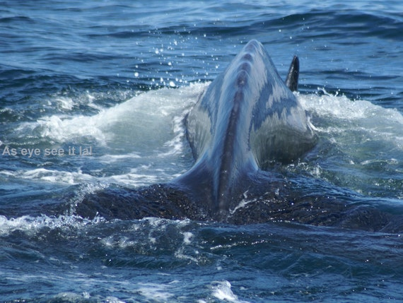 Close up of Whale getting ready to  dive photo greeting card 5x7 blank inside