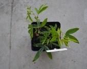 Passiflora Caerulea live plant Passion Flower
