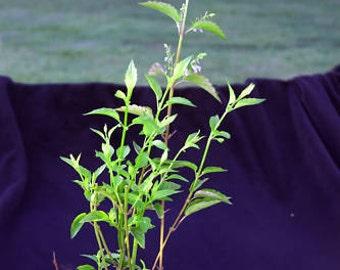 Scutellaria Lateriflora live plant Skullcap