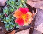 Fifteen (15) Portulaca Grandiflora Wine Red Grower Plugs
