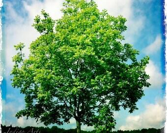 "Tree Photograph - Metallic photo print ""Pecan Tree"""
