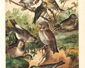 Birds Antique Lithograph1891, Finch, Amadina or Amadinidos Ornithology Print