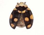 Vintage Entomology Lithograph Ladybird Ladybug Coccinella ursina Insect Print Wall Decor
