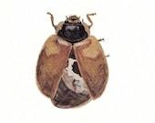 Vintage Print Ladybird Ladybug Coccinella biguttata Entomology Lithograph