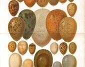 Eggs of European Birds Vintage Print 1920s, Ornithology, Kitchen Decor Illustration